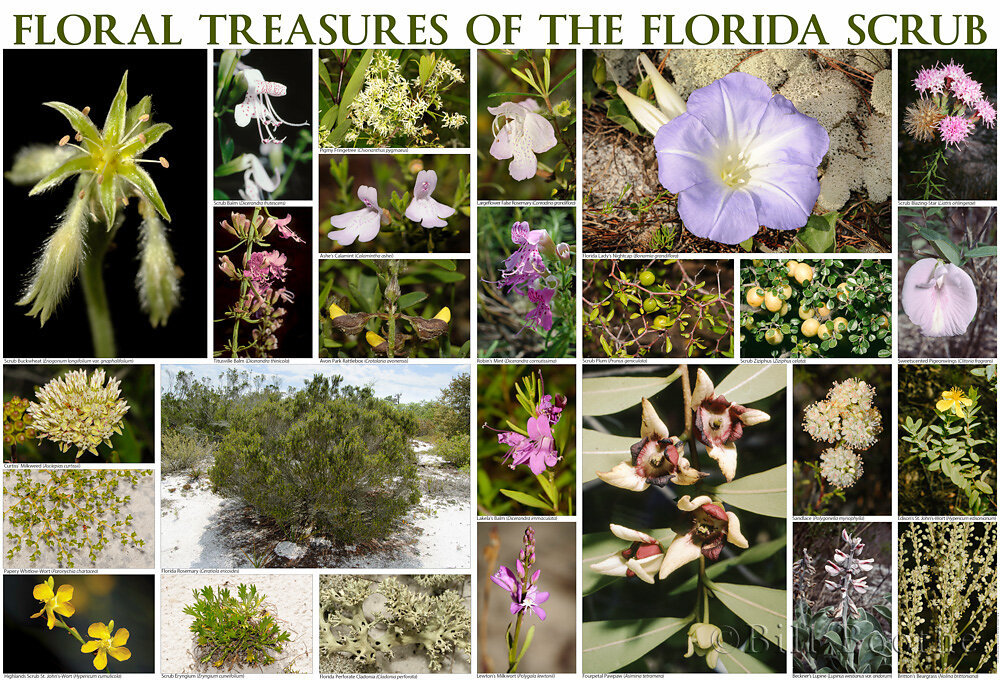 Floral Treasures of the Florida Scrub