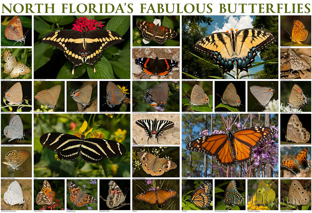 North Florida's Fabulous Butterflies