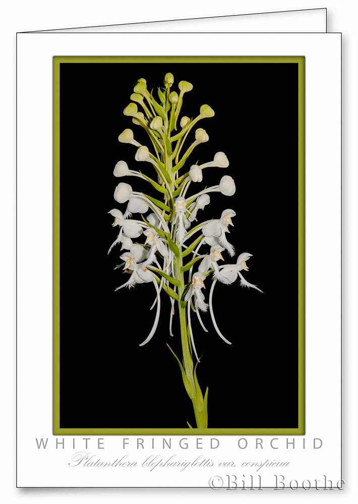 White Fringed Orchid