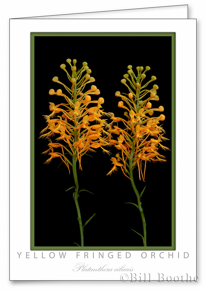 Yellow Fringed Orchid