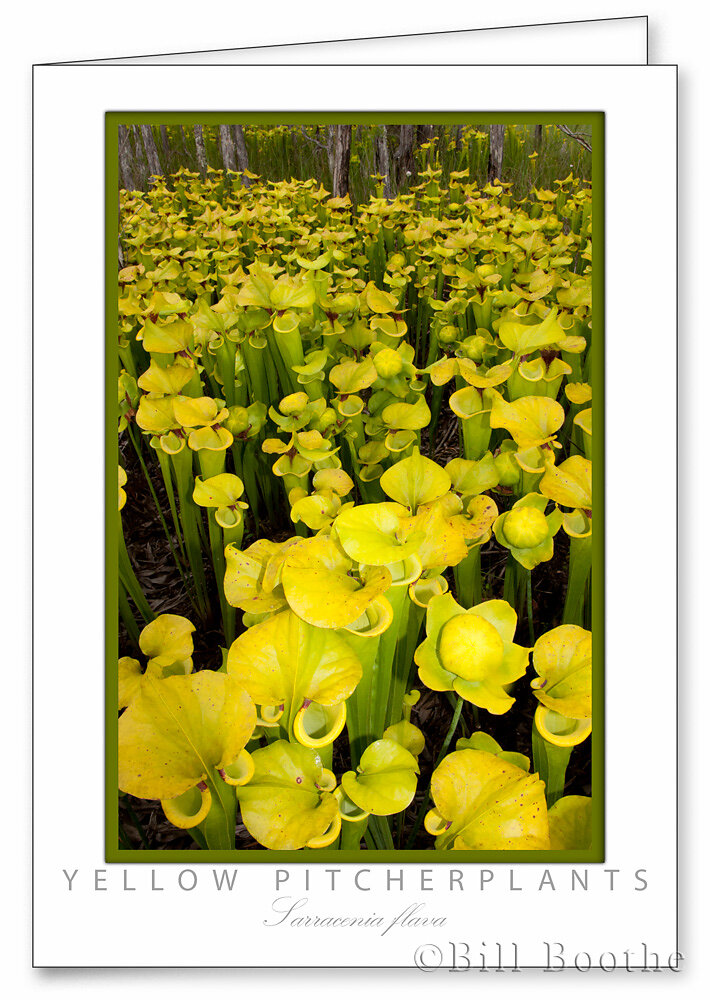 Yellow Pitcherplants