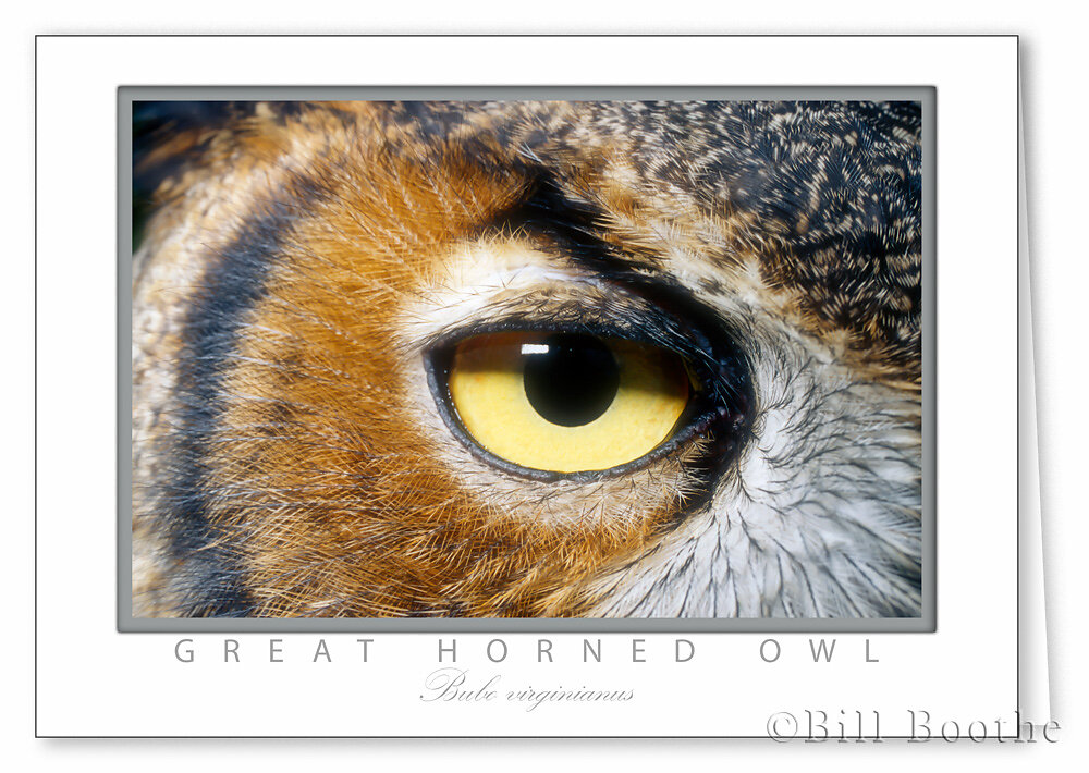 Great Horned Owl's Eye