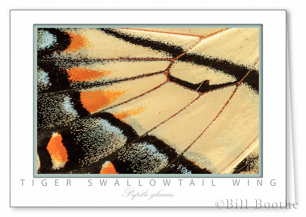 Tiger Swallowtail Wing