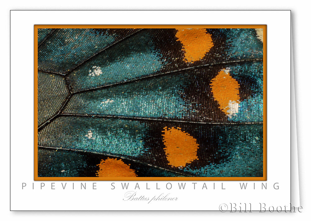 Pipevine Swallowtail Wing