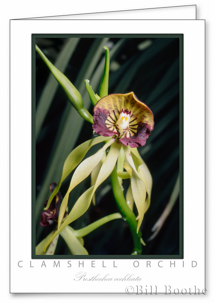 Clamshell Orchid
