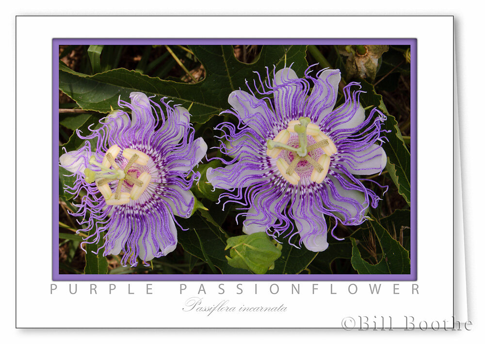 Purple Passionflower