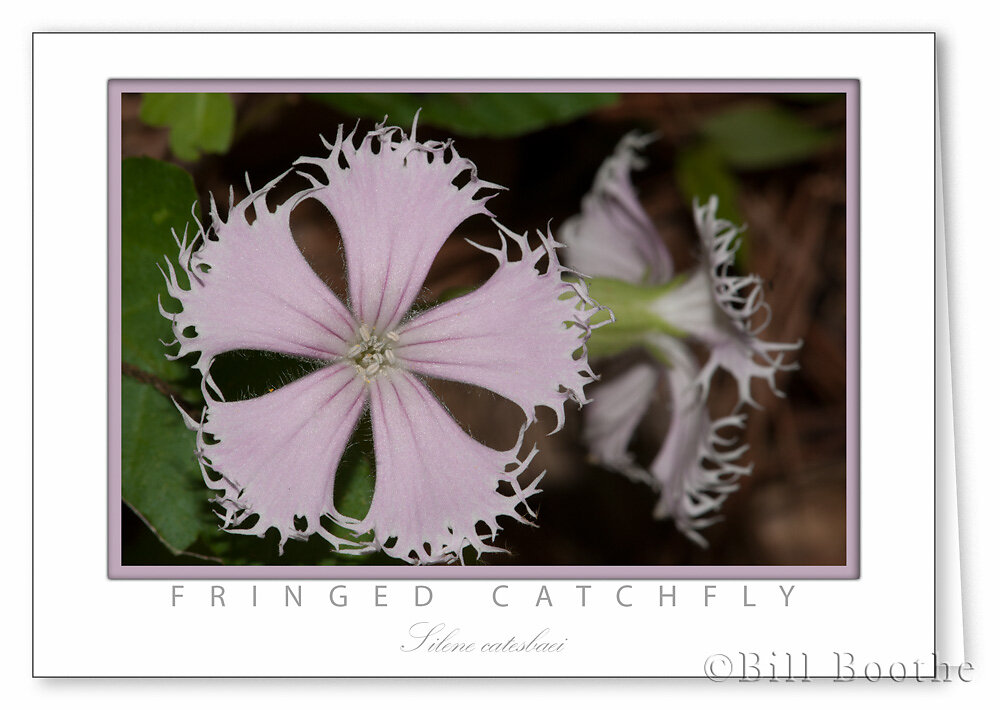 Fringed Catchfly