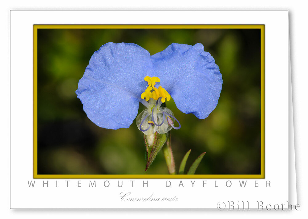 Whitemouth Dayflower