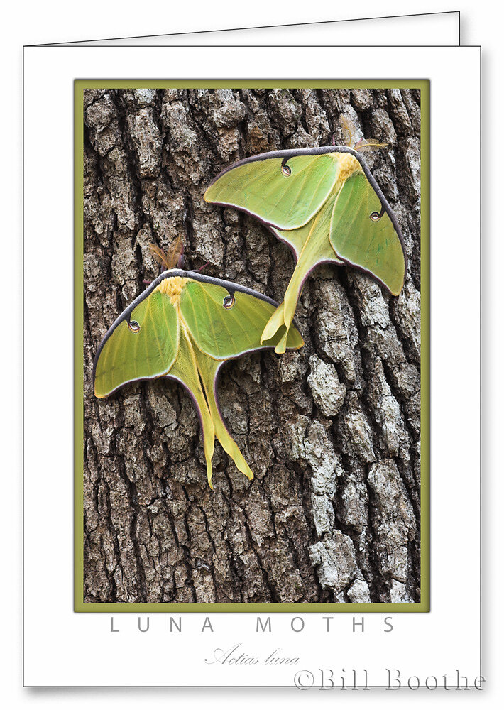 Two Luna Moths on Oak