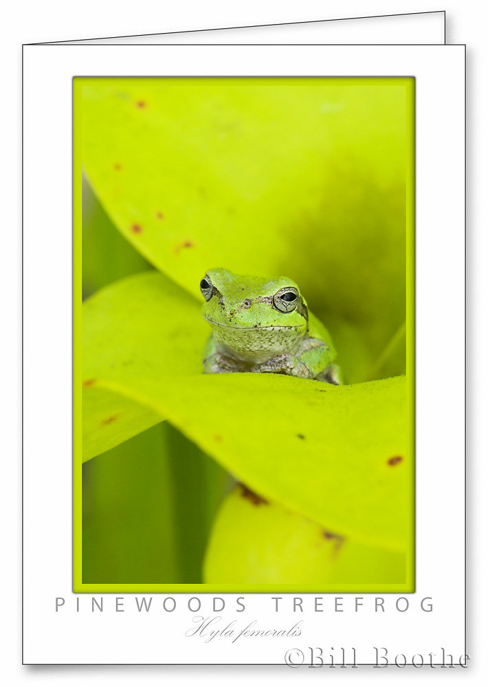 Pinewoods Treefrog in Yellow Pitcherplant