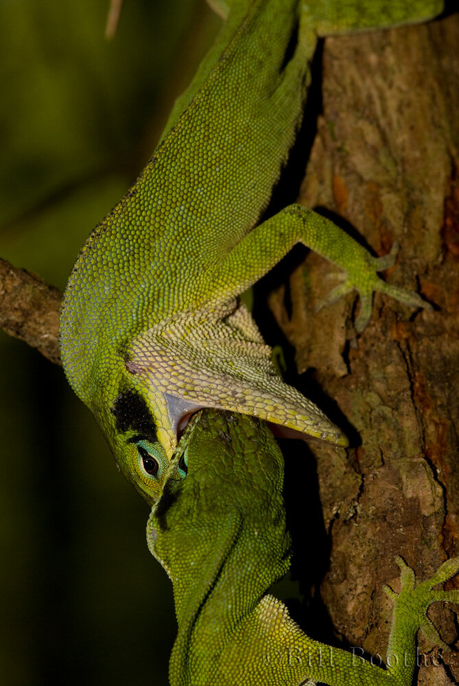 Fighting Green Anoles