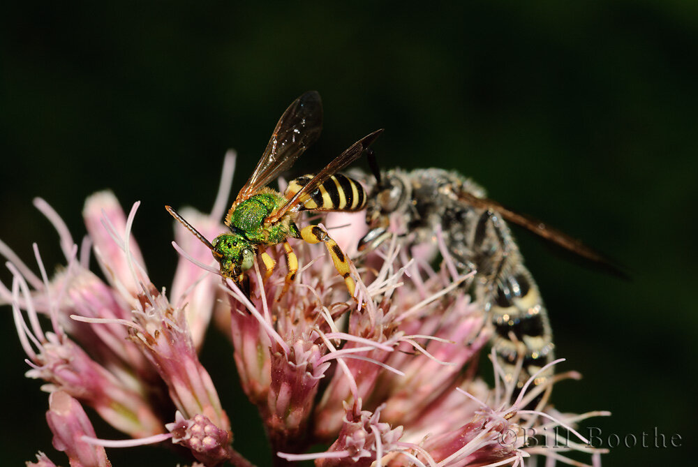 Male Metallic Green Bee