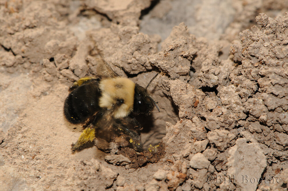 Solitary Digger Bee