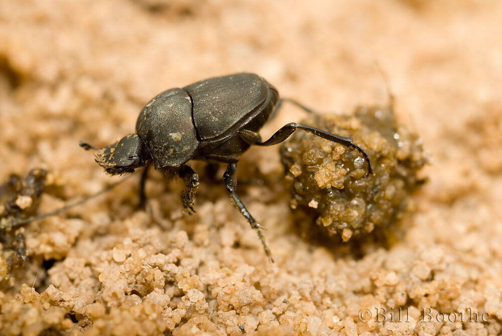 Dung-rolling Beetle