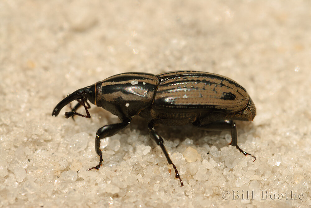 Billbug Weevil