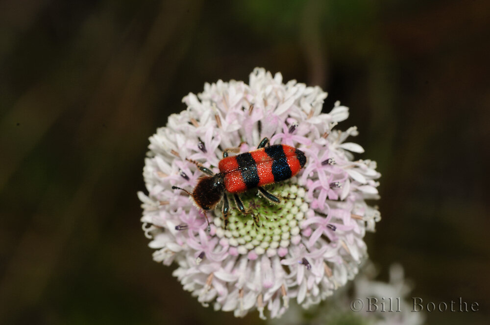 Beekiller Checkered Beetle
