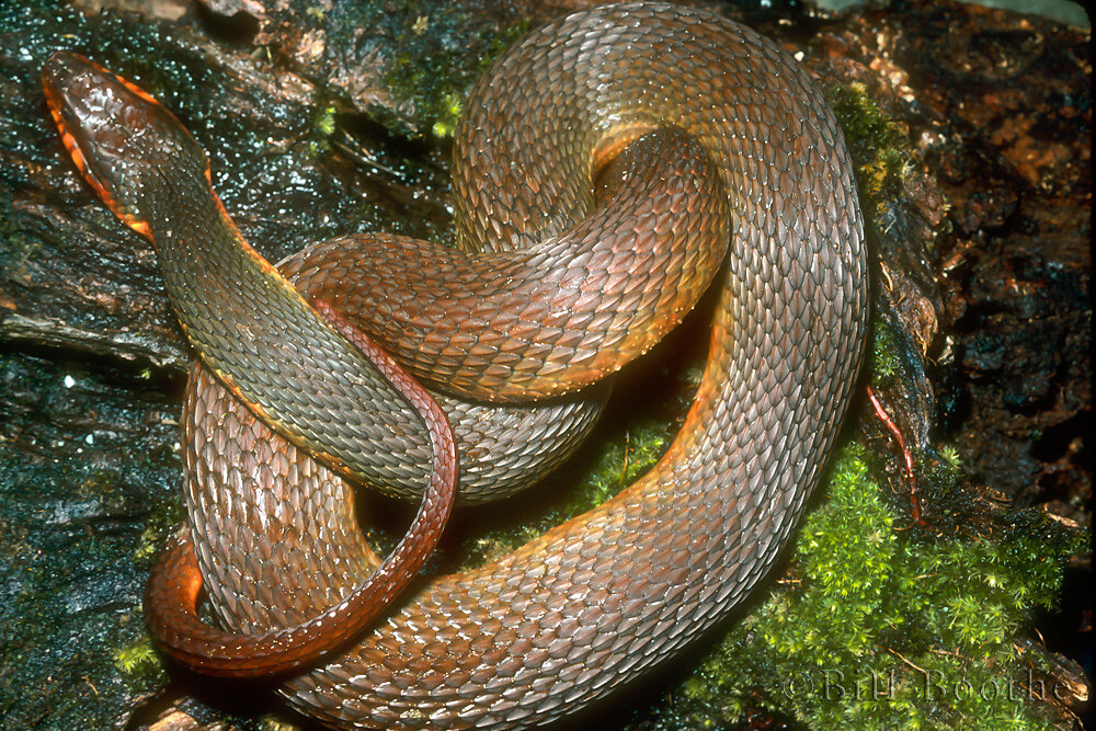 Redbelly Water Snake