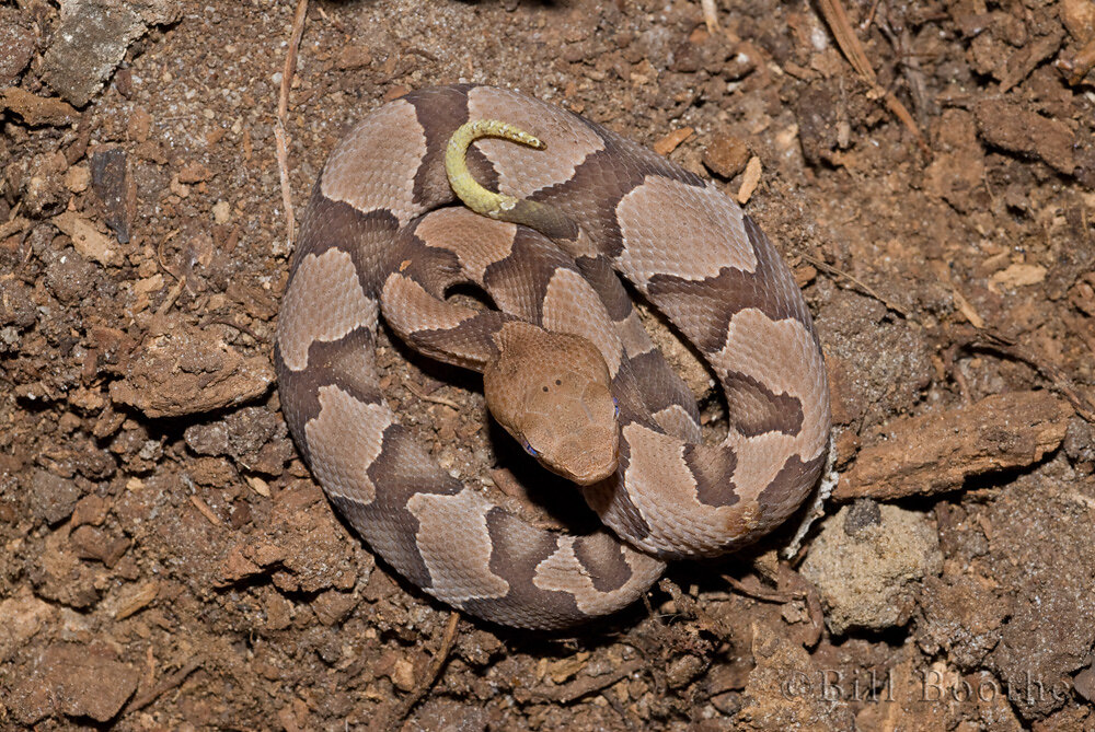 Southern Copperhead Snake