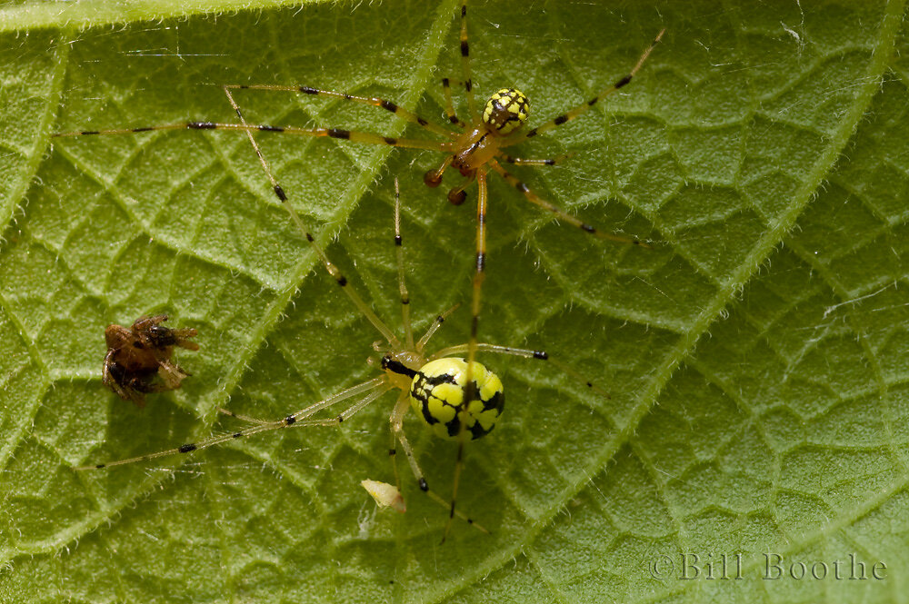 Spotted Yellow Cobweb Weaver Spider