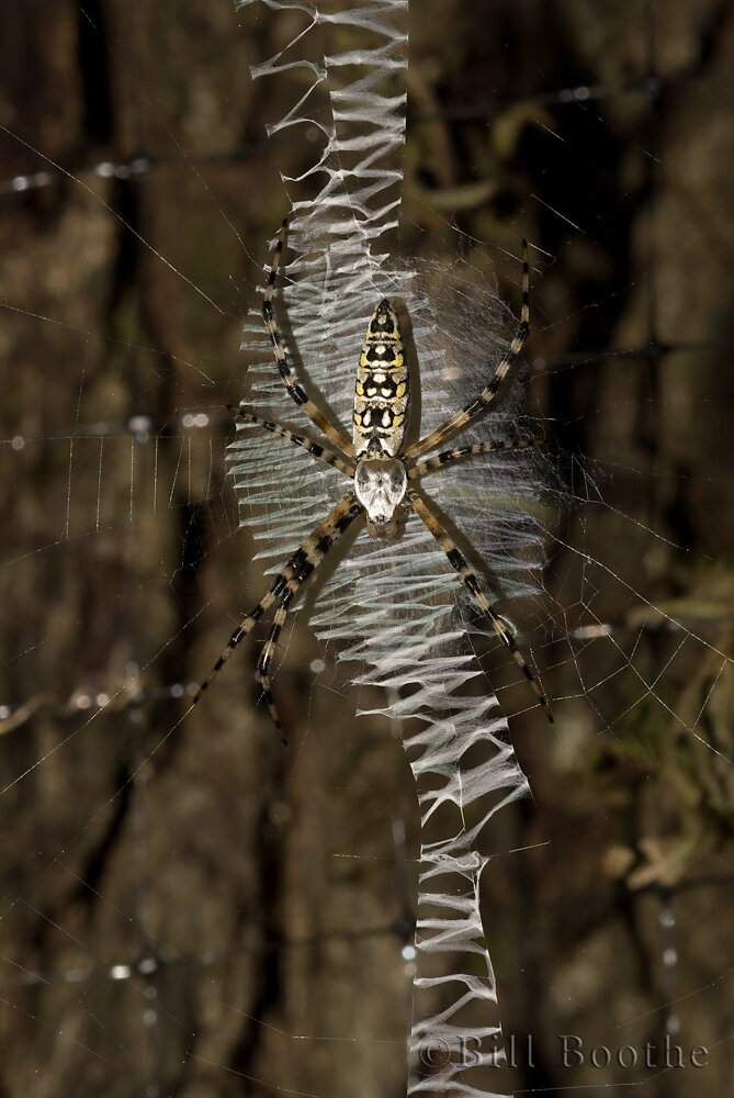 Yellow Garden Orb Weaver Spider