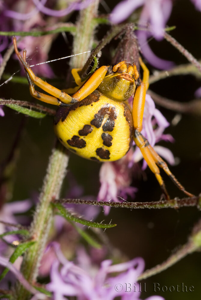 White-banded Crab Spider