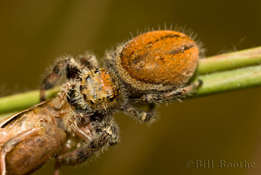 """Clarus"" Jumping Spider"