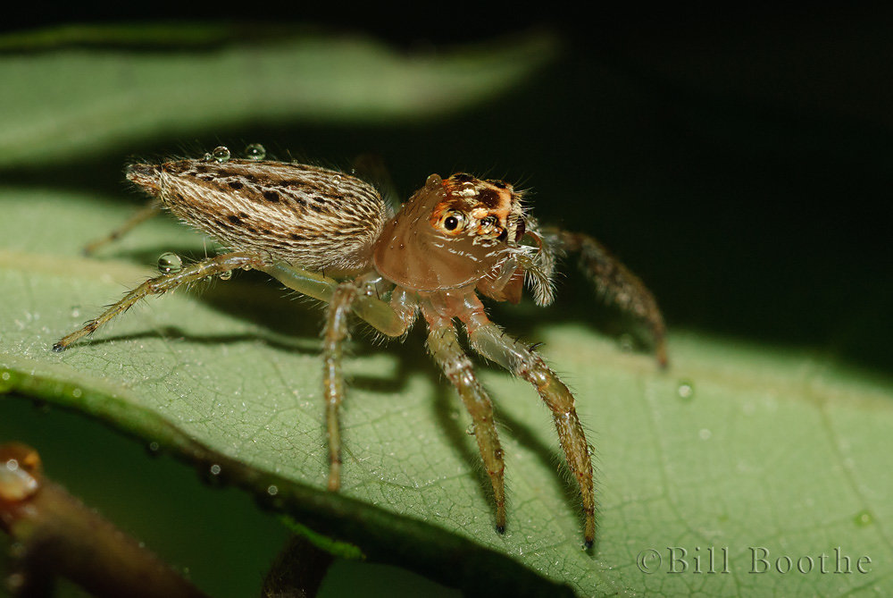 Female Woodland Jumping Spider