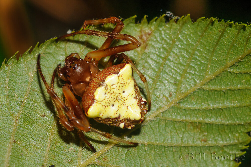 Triangulate Orbweaver
