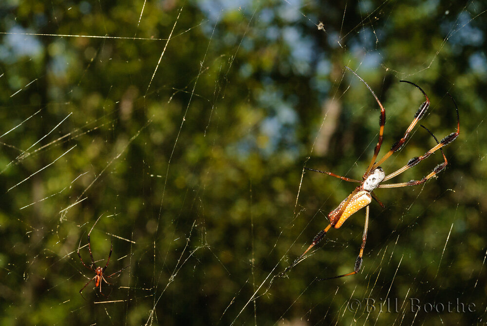Male and Female Golden Silk Orbweavers