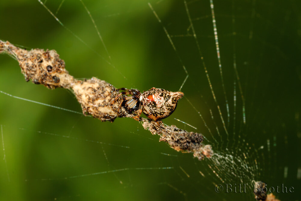 Humped Trashline Orb Weaver Spider