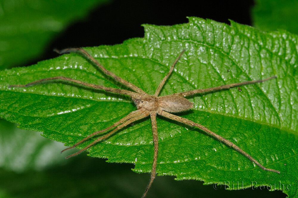 Male Nursery Web Spider