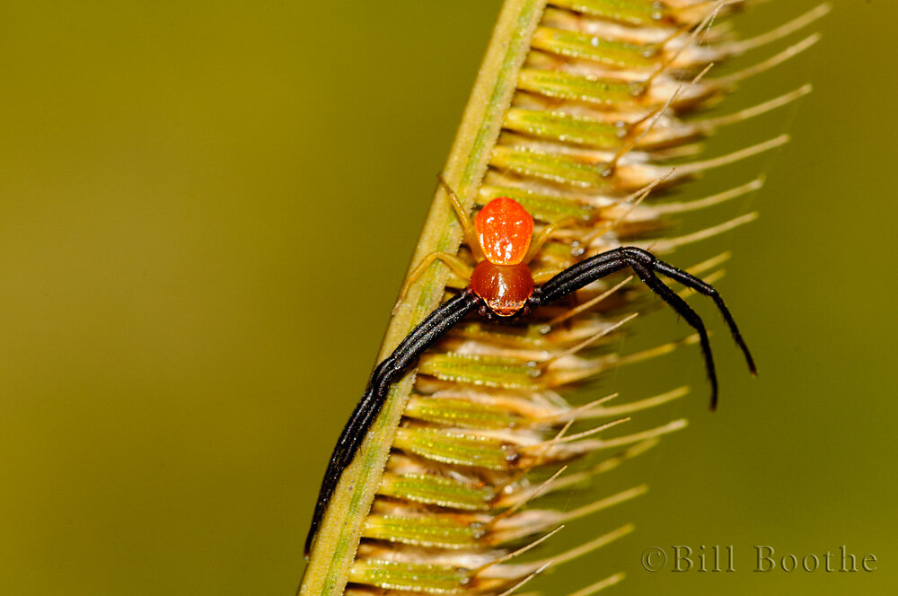 Male Whitebanded Crab Spider