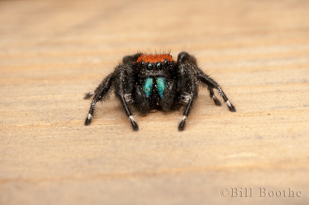 Apache Jumping Spider