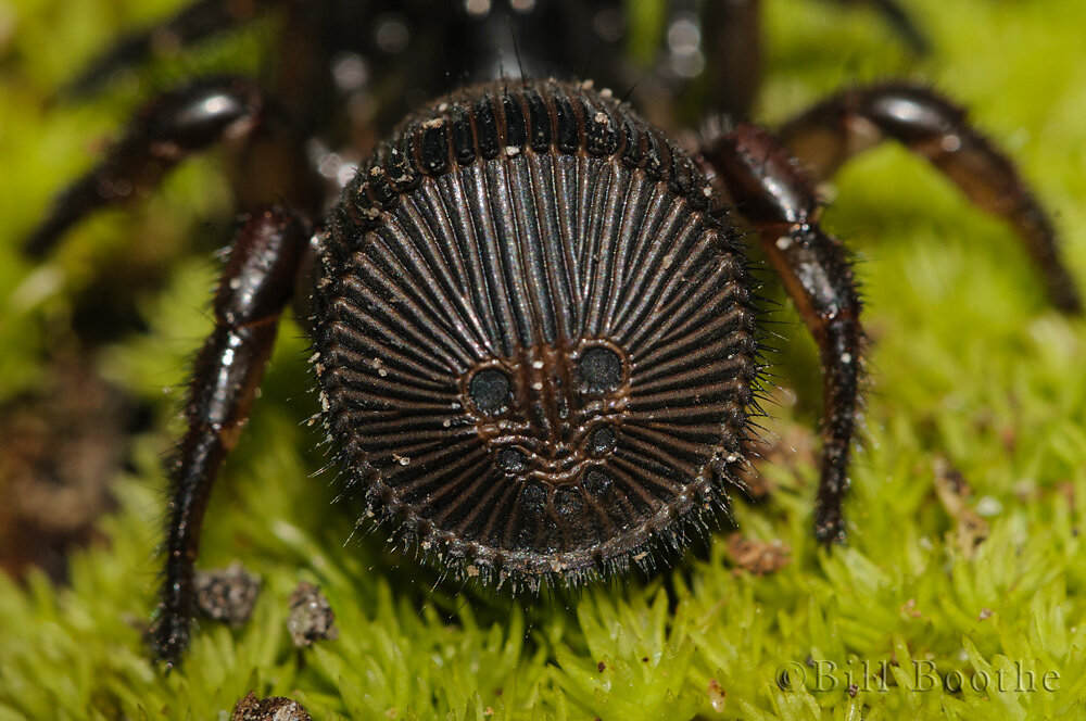"""Face"" on hind end of Torreya Trap-door Spider"