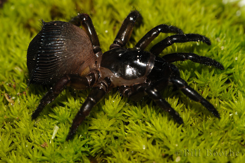 Torreya Trap-door Spider