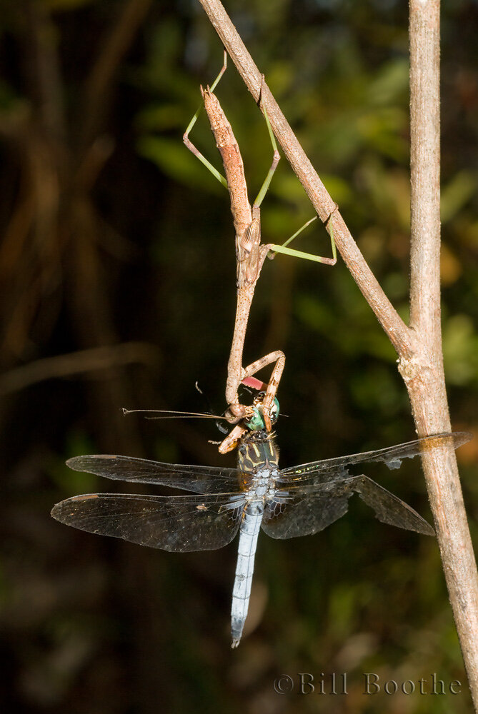 Praying Mantis eating Dragonfly