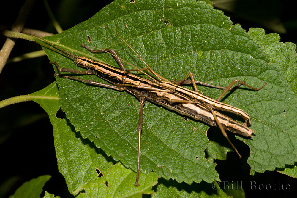 Mating Two-Striped Walkingsticks