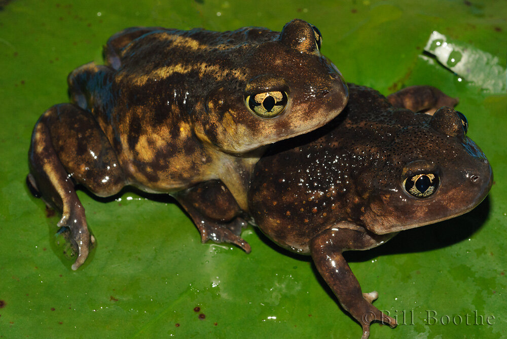 Mating Eastern Spadefoot Toads