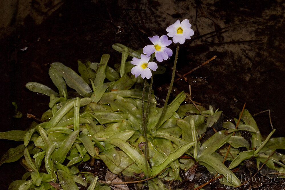 Primrose-flowered  Butterwort