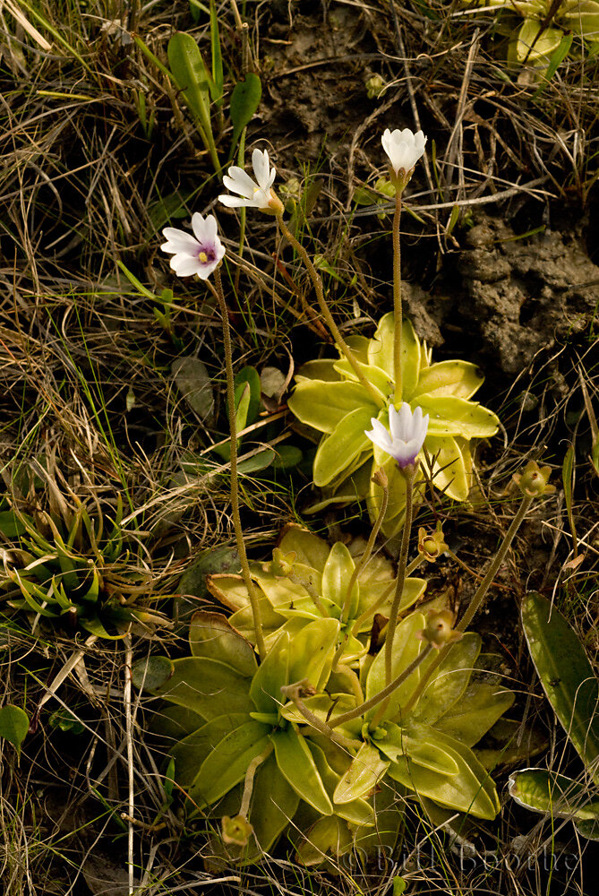 Panhandle Butterwort