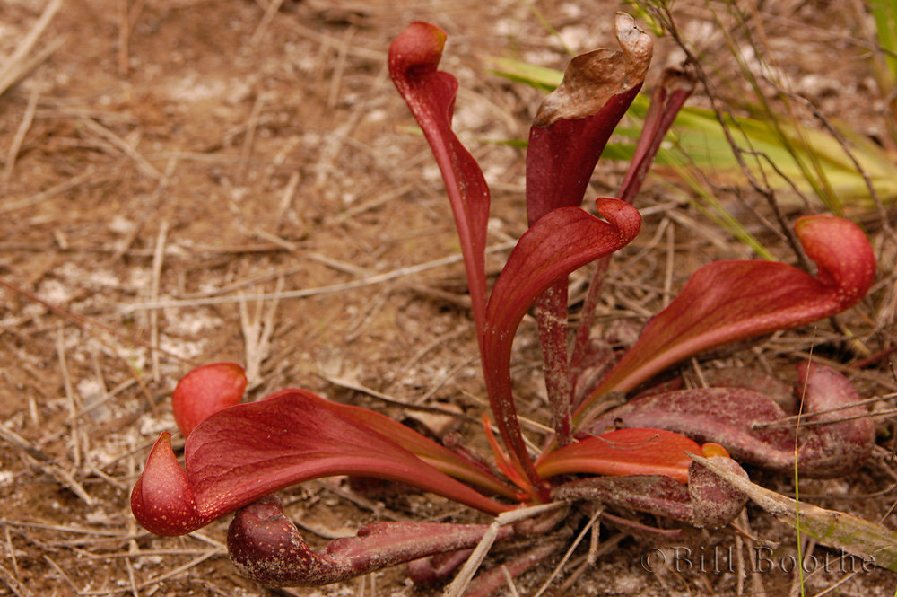 Parrot Pitcherplant