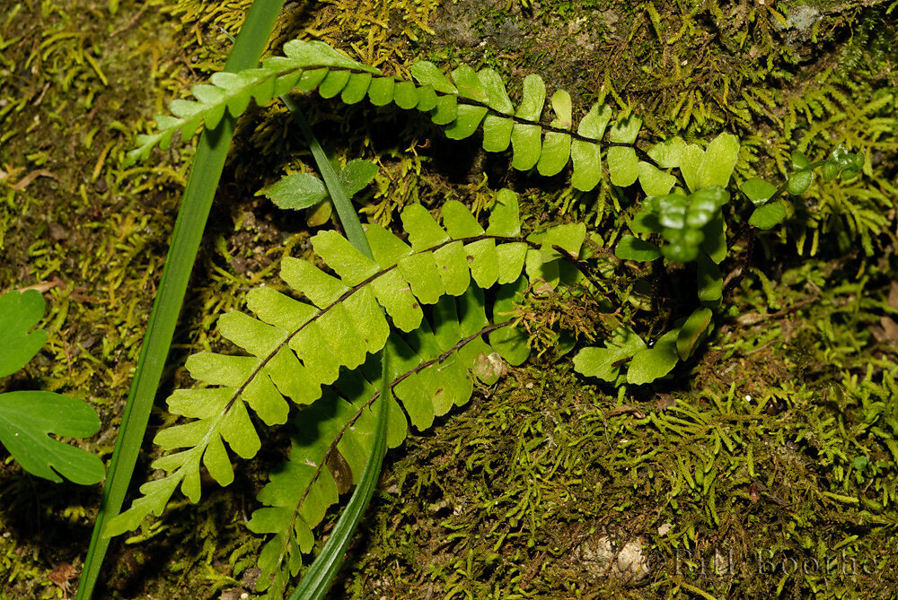 Single-sorus Spleenwort