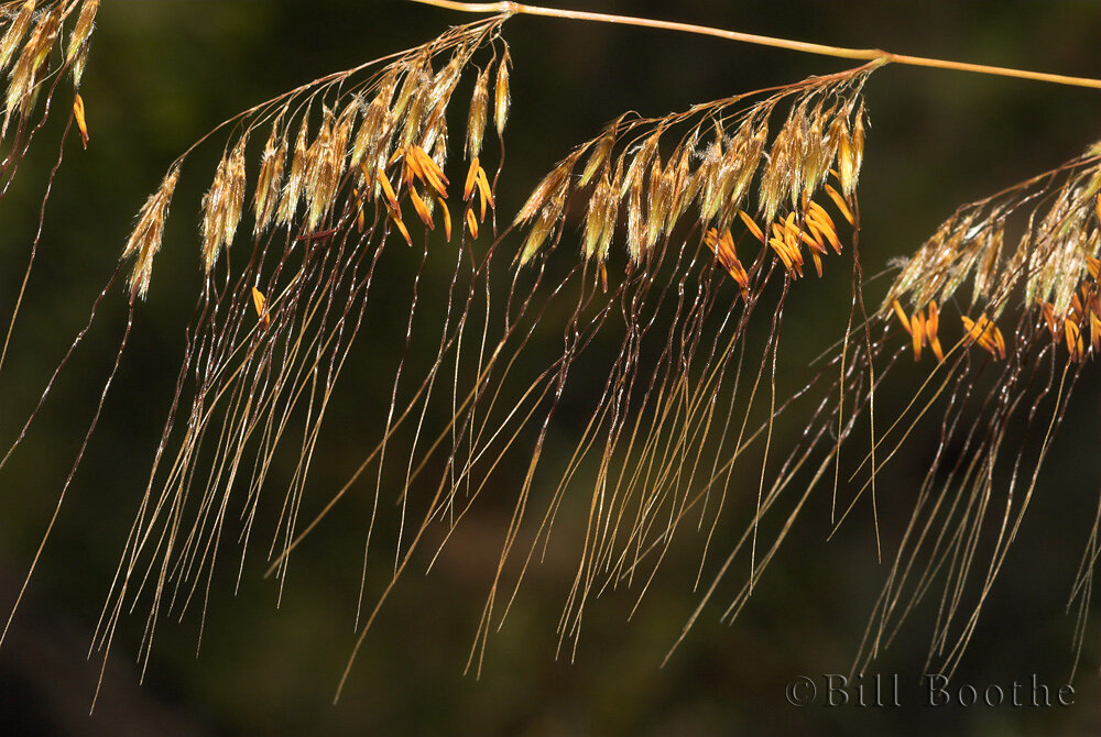 Lopsided Indiangrass