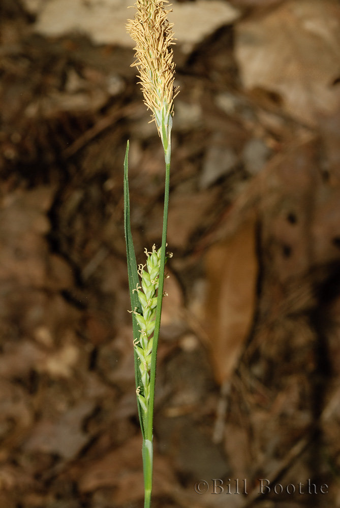 Lined Sedge
