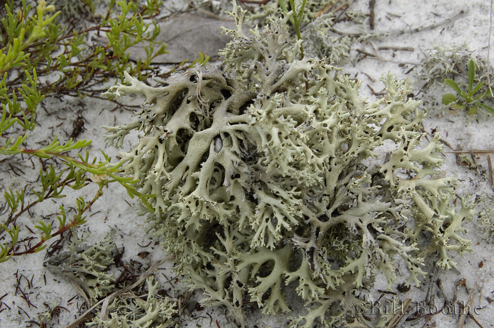 Perforate Lichen