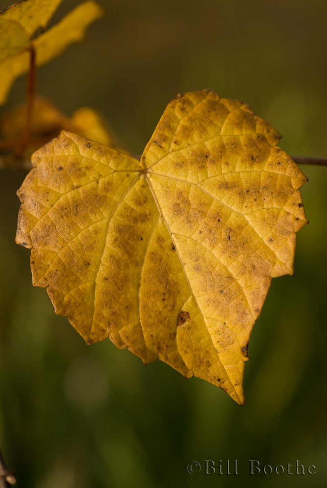Grape Leaf in Fall Color