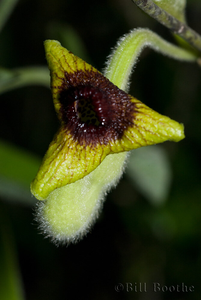Woolly Dutchman's Pipe