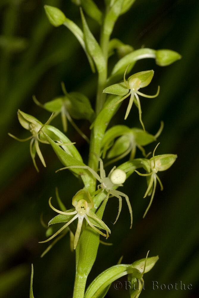 Waterspider False Reinorchid