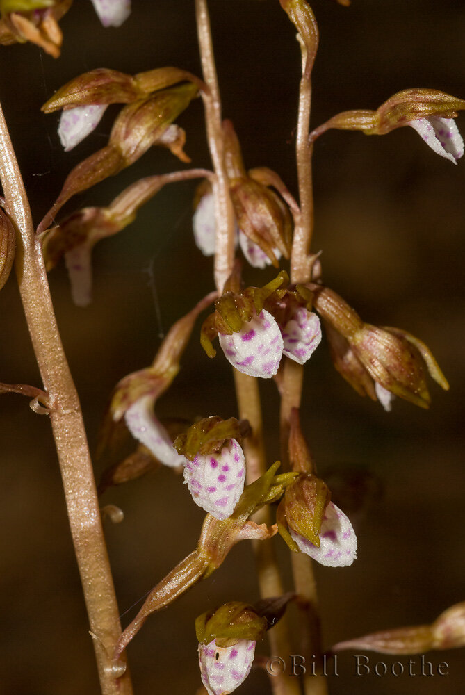 Spring Coralroot Orchid