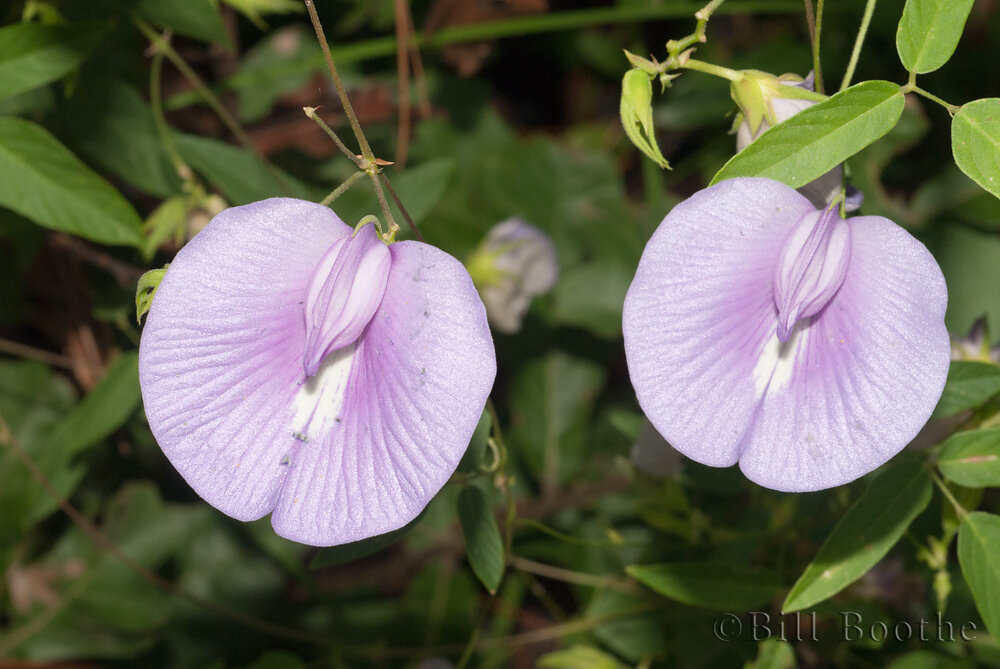 Spurred Butterfly Pea